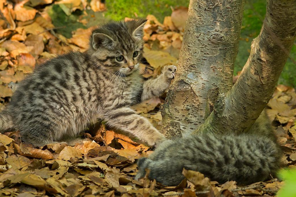 Junge Wildkatzen beim Spielen