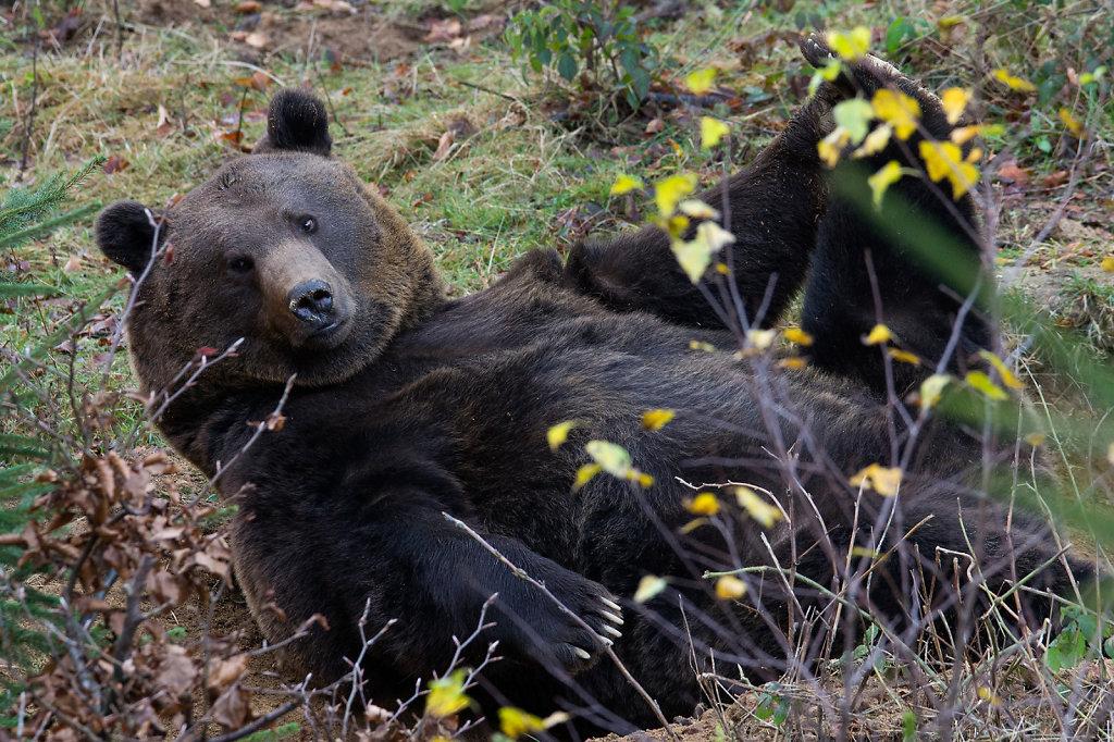 Bären Yoga