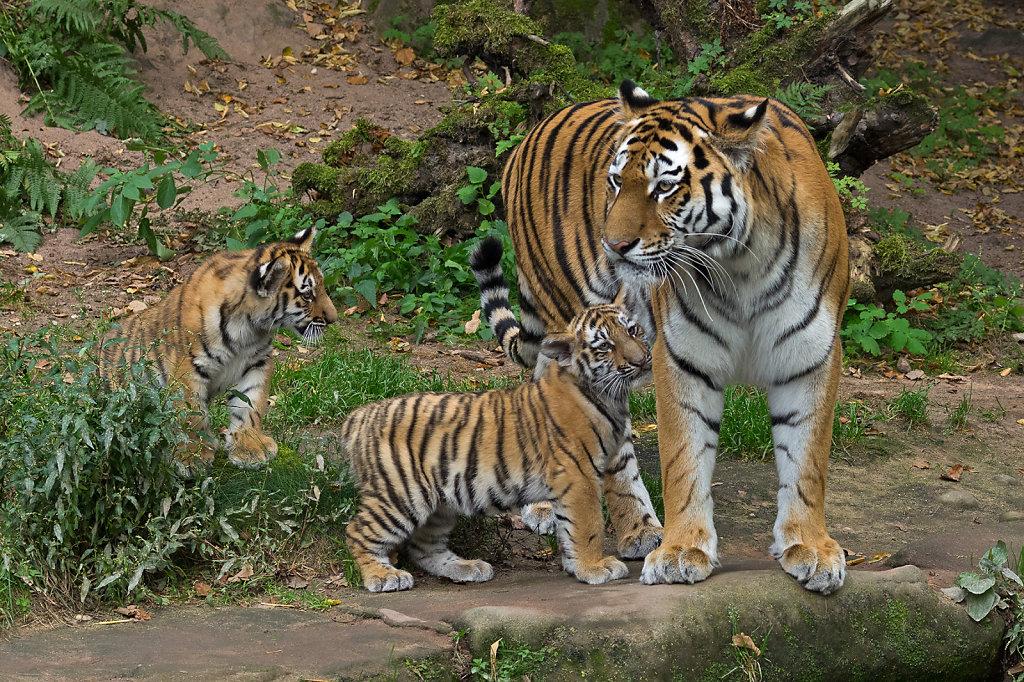 Tigerbabies mit Mama